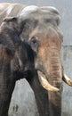 Facial features of asian elephant