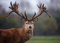 Facial Portrait of Red Deer Stag in Rain Royalty Free Stock Photo