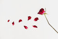 Faded blowing rose flower`s petals, on white background