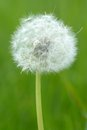 Faded dandelion taraxacum officinale the common often simply called is a flowering herbaceous perennial plant Stock Photos