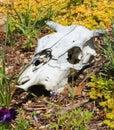 Cow skull skeleton