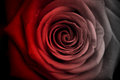 Faded red rose from at black and white Stock Photos