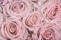 Faded roses a background of vintage effect with intentional desaturation Royalty Free Stock Image