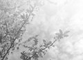 Faded spring background in black and white featuring blossoming tree image toned washed out smoky vintage style Royalty Free Stock Image