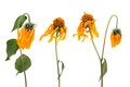 Fading cosmos flowers isolated on white background Royalty Free Stock Photography