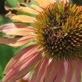 Fading Echinacia Flower Royalty Free Stock Photo