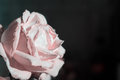 Fading rose pink color close up Stock Photography