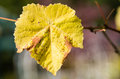 Fading yellow grape leaves on the vine show fall is near Royalty Free Stock Image