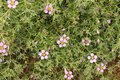 Fagonia Laevis purple flowers in the countryside