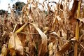 Failed corn crop, climate change image Royalty Free Stock Photo
