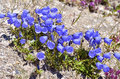Fairies thimbles in alps french campanula cochleariifolia also campanula cochlearifolia the to la plagne Stock Photos
