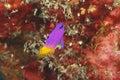 Fairy Basslet - Bonaire Royalty Free Stock Photo