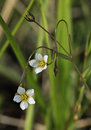 Fairy flax linum catharticum two small flowers Stock Photography