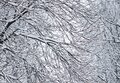 Fairytale fluffy snow-covered trees branches, nature scenery with white snow and cold weather. Snowfall in winter park
