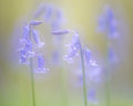 Fairytale picture of spring blue bells wild flowers