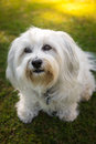 Faithful dog eyes a little white havanese looking from bottom to top with its fantastic beautiful who can resist such a puppy Royalty Free Stock Photo