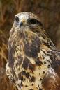 Falco Rough-legged (3) Fotografie Stock