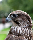 Falcon. Stock Photo