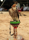 Falcon at an Arabian camp Royalty Free Stock Photos
