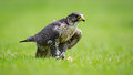 Falcon bird of prey bird with catch on the ground Stock Images