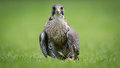 Falcon bird of prey bird with catch on the ground Royalty Free Stock Photo
