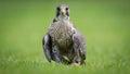 Falcon Bird Of Prey Bird
