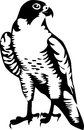 Falcon black and white illustration Royalty Free Stock Images