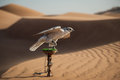 Falcon In Desert