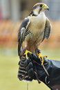 Falcon on hand of trainer gloved Royalty Free Stock Photo