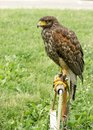 Lord of the sky, falcon standing and looking, Falcon - hawk is ready for hunting Royalty Free Stock Photo