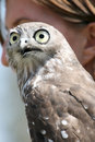 Falcon head and eyes Stock Images