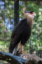 Falcon in Itaipu Parana Brazil Royalty Free Stock Photo