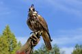 Falcon perched on its trainers hand Royalty Free Stock Photos