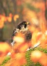 Falcon portrit behind leaves Royalty Free Stock Photo