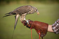 Falcon with a prey eating chick resting after training flight Stock Image