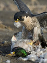 Falcon and prey a peregrine with a mallard duck Stock Image