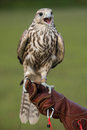 Falcon with a prey resting after training flight Royalty Free Stock Photos