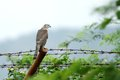 A falcon sitting on fence falcons are strong bird that commonly nest in holes in trees or natural ledges cliffs Royalty Free Stock Photo