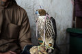 Falconer with falconry falcon his used for a favorite arab sport Royalty Free Stock Photos