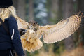 Falconer girl from back with gauntlet and landing flying eurasian eagle owl winter forest blong hair Royalty Free Stock Photography