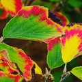 Fall afire macro of colorful leaves Royalty Free Stock Images