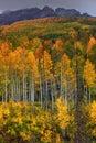 Fall Aspen Along The Anthracite Range Royalty Free Stock Photo
