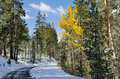 Fall aspen tree one golden along a snowy road with pine trees in the Royalty Free Stock Photos
