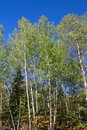 Fall aspen trees in northern ontario canada Royalty Free Stock Photography