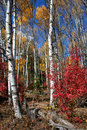 Fall Aspens 6