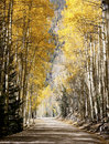 Fall aspens down a country road Royalty Free Stock Photography