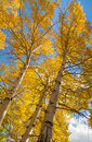 Fall aspens showing brilliant golden colors reach for the sky Stock Image