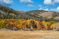 Fall Aspens of Wyoming Royalty Free Stock Photo