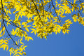 Fall: Backlit Yellow Elm Leave...