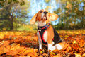 Fall beagle dog autumn colors hound with ears moving in the wind park floor covered with leaves Royalty Free Stock Photo
